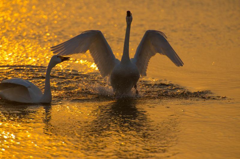 [ 朝陽を受けて ]  オレンジに染まる湖面。夜が明けるころに寝床から長浜へとハクチョウたちは飛んできます。