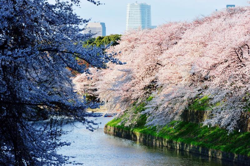 千鳥ヶ淵の桜 |