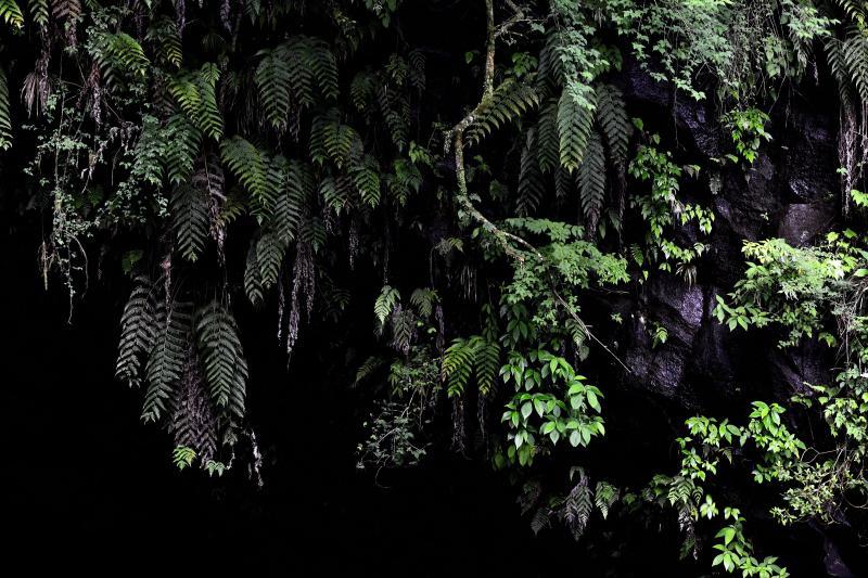 [ ハイコモチシダ ]  珍しいシダが滝の横にあります。