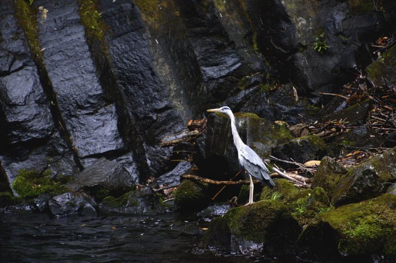 [ 柱状節理とアオサギ ]  黒の中に白い鳥が目立ちます。