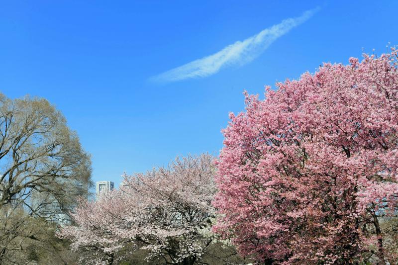 [ 桜満開 ]  新宿御苑は春一色です。