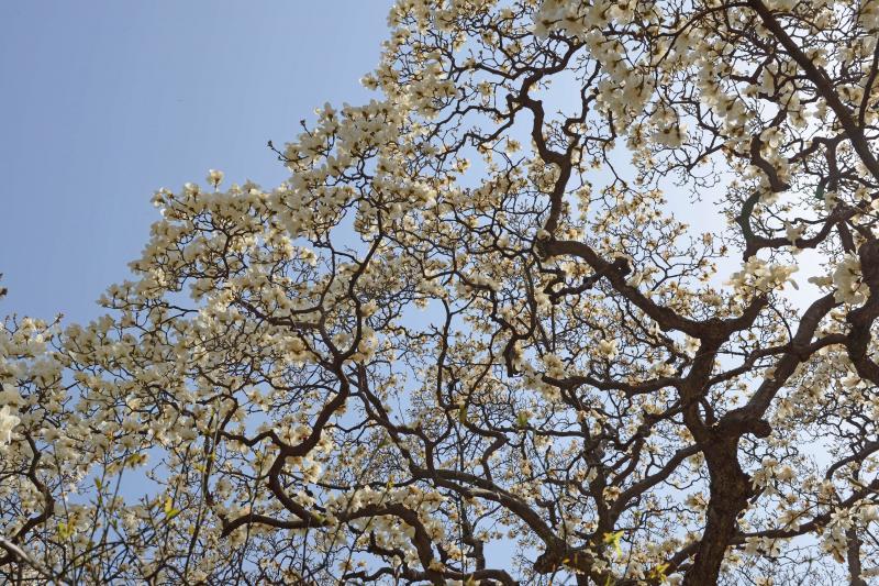 [ 新宿御苑の大モクレン ]  凄く巨大なモクレンがあります。