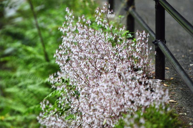 [ 滝に寄り添う花 ]  遊歩道の近くにかわいい花が咲いています。