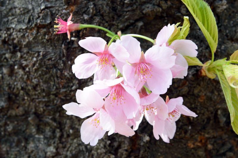 [ 幹に咲く花 ]  幹から花が出ています。