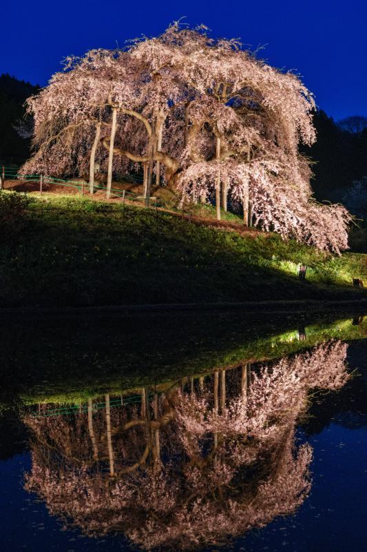 [ 蒼の時 ]  ライトアップされた桜がシンメトリーに!