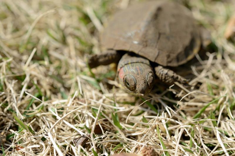 [ 新宿御苑の亀 ]  芝生の上にいる亀を見つけました。