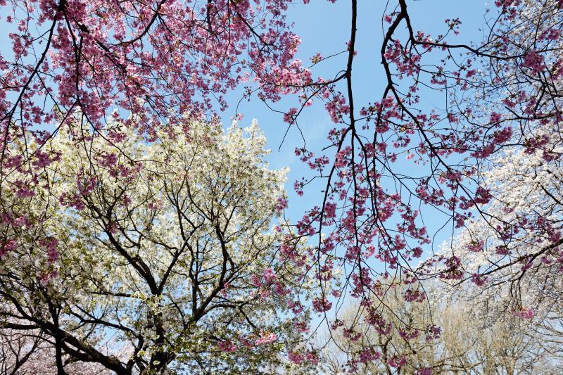 [ 重 ]  桜の重なりが美しい