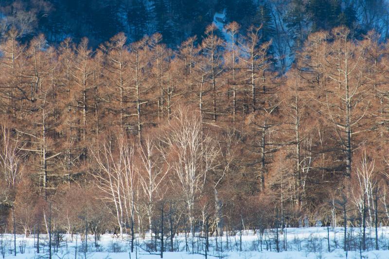 雪の中の黄金 | 美しき林です。