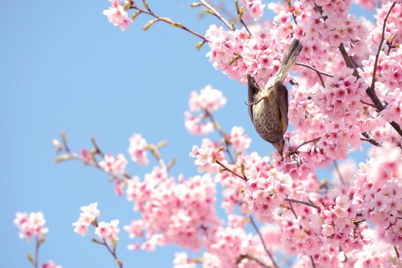 [ ヒヨドリの逆さジャンプ ]  ヒヨドリが下の枝に飛び移ります。