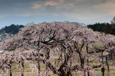 安達太良連峰と地蔵桜| 桜の背後に残雪の安達太良山が見えます。日中・ライトアップの両方が美しい桜。