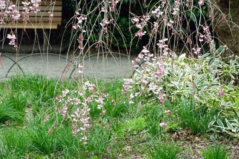 [ 春のベンチ ]  のんびりと桜を見るのに良い場所です。