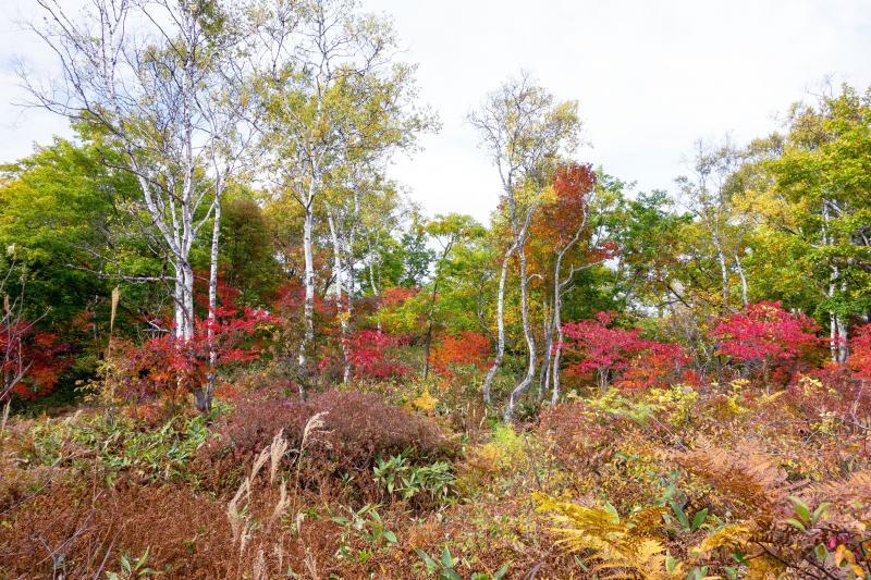 [ 琵琶池周辺の紅葉 ]  赤い紅葉と白樺が美しい