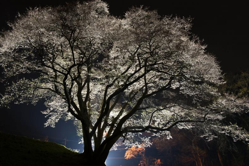 [ 光の中で ]  浮き上がった桜が綺麗です。