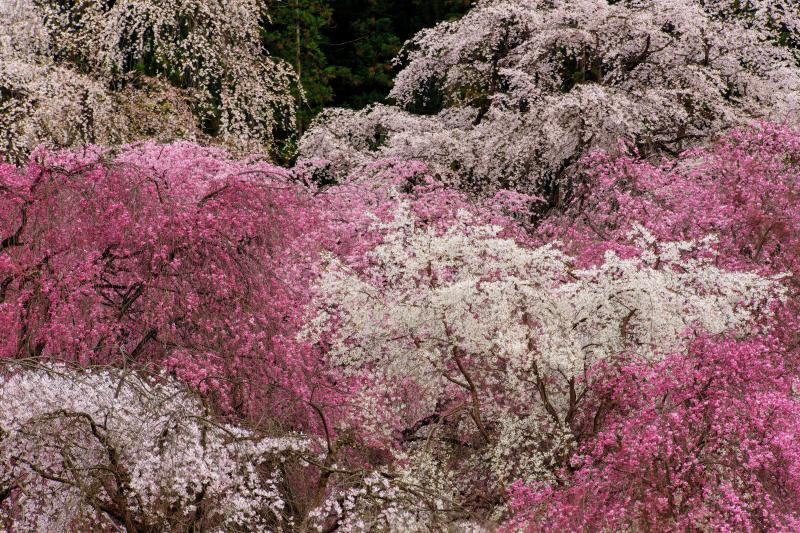 枝垂れの競演   境内では数十本の枝垂桜が咲き競う。枝垂桜の名所。