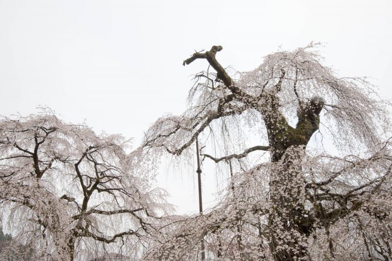 [ 老木 ]  記念物の桜は傷んできています。