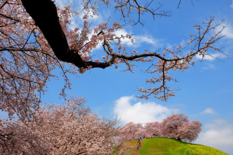 [ 爽快古墳春景色 ]  風情のある枝の下から、桜と菜の花に包まれた古墳を見上げて。空に流れ行く雲と桜がとても綺麗でした。