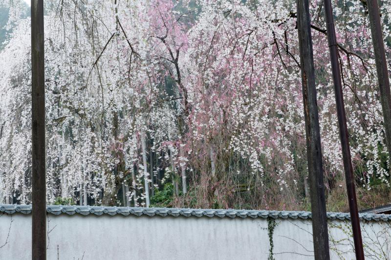 [ 清雲寺のしだれ桜 ]