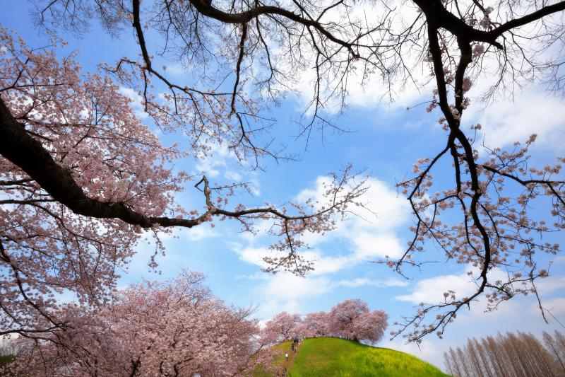古墳の春| 古墳は春になるとたくさんの桜が咲き乱れます。桜・菜の花・青空に流れる雲と、春の要素が凝縮された空間になっています。