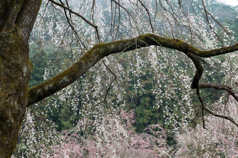 [ しっとりとした春 ]  雨模様の中の桜