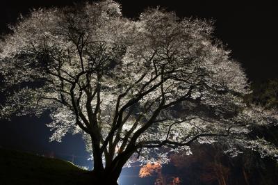 光の中で| 浮き上がった桜が綺麗です。