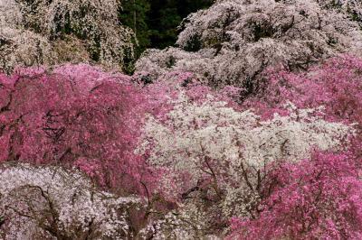 枝垂れの競演| 境内では数十本の枝垂桜が咲き競う。枝垂桜の名所。