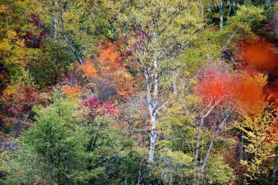 丸池の紅葉| 紅葉の中の白樺が美しい