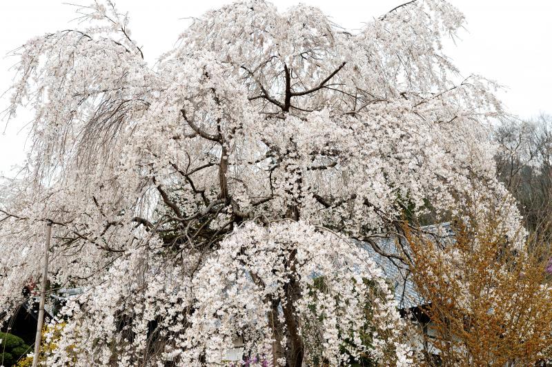 [ 法善寺の枝垂桜 ]  樹勢の良い枝垂桜があります。