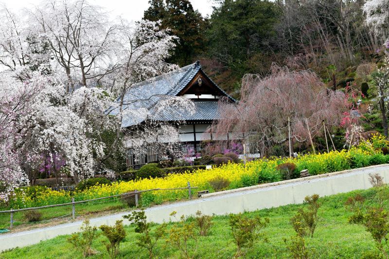 [ 法善寺の桜と菜の花 ]  黄色と桜のコントラストが美しい