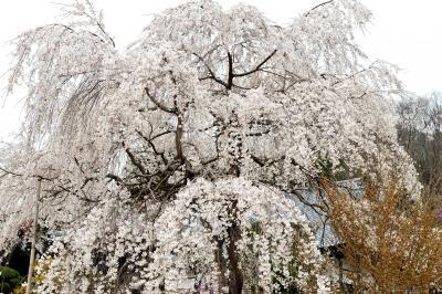 法善寺の枝垂桜| 樹勢の良い枝垂桜があります。