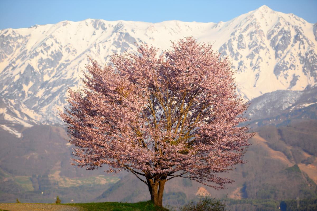 白馬村 一本桜 雄大な北アルプスが目の前に迫ります。白馬鑓ヶ岳の高さと迫力に驚きました。