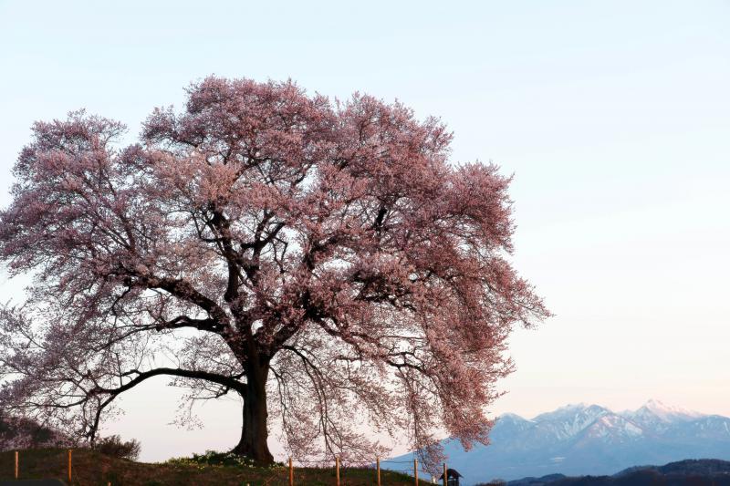 わに塚の桜と朝日に染まる八ヶ岳 | 桜に陽が当たり始めました。