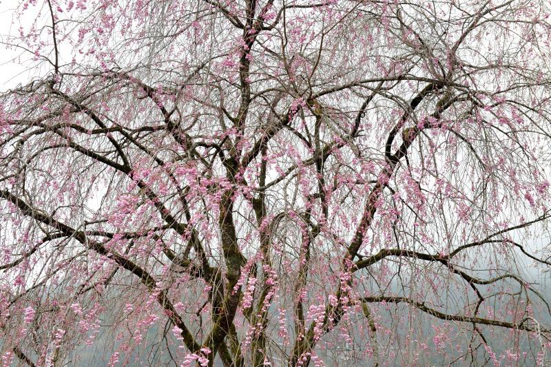 [ 繊細な枝垂れ ]  秩父は枝垂桜の名所が多いです。