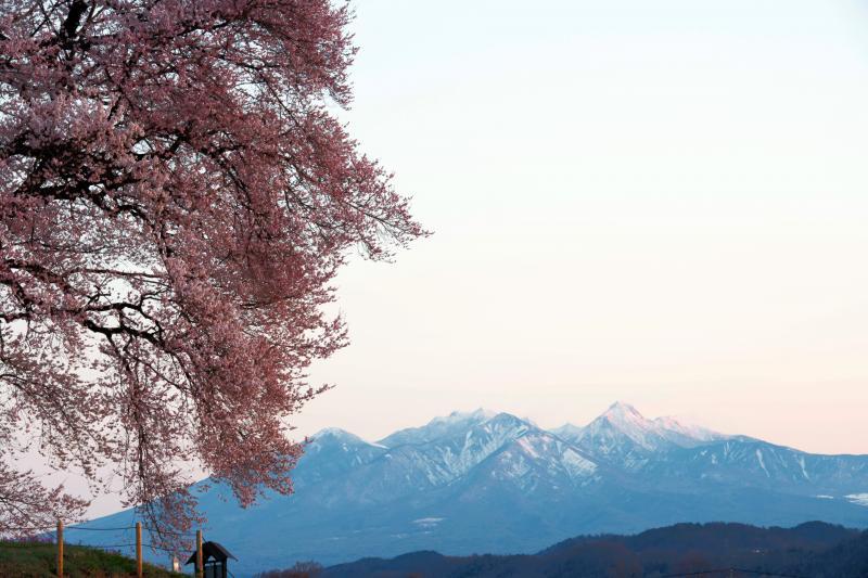[ 朝日に染まる八ヶ岳 ]  八ヶ岳と桜のコラボレーション