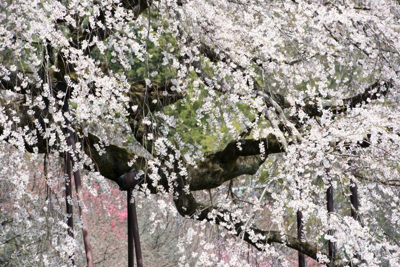 [ 和の美 ]  小さく上品な花びらです。
