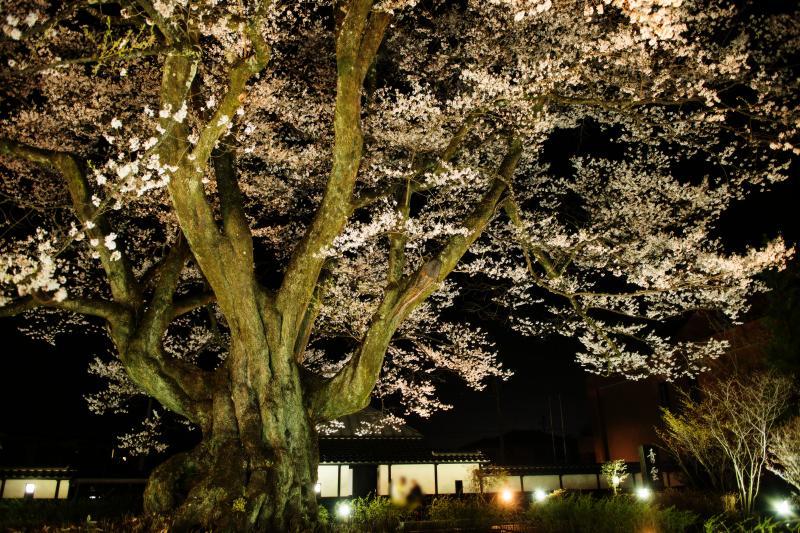 [ 長姫のエドヒガン ]  ライトアップされ巨木が闇に浮かび上がります。