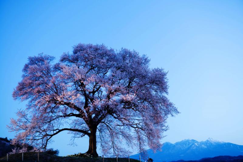 [ わに塚の桜と八ヶ岳 ]  夜明け前から雪を抱いた八ヶ岳が見えていました。