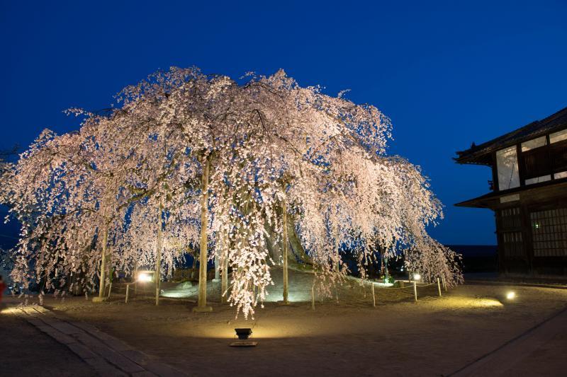 [ 濃紺の空に浮かぶ舞台桜 ]  空が綺麗な時間帯。ライトアップされた桜が美しい。