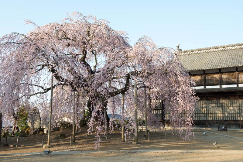 [ 舞台校舎と舞台桜 ]  歴史ある和の空間