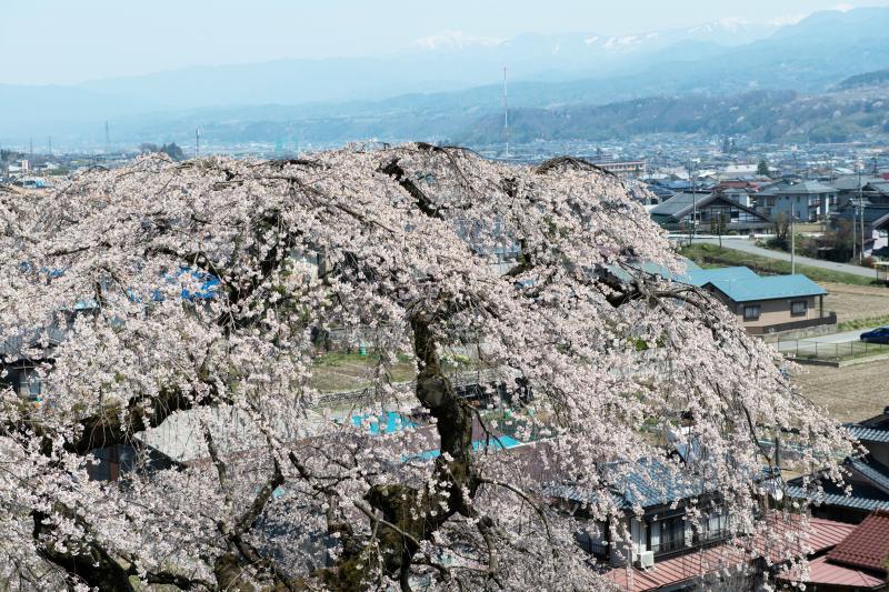 [ くよと桜の上から ]  街を見下ろしています。