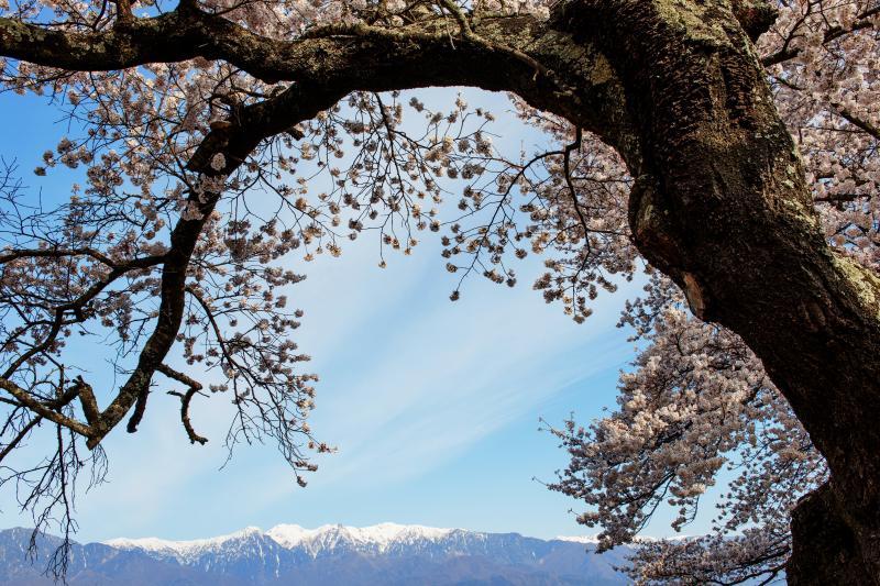 [ 望岳荘の桜と残雪 ]  残雪の山を背景に
