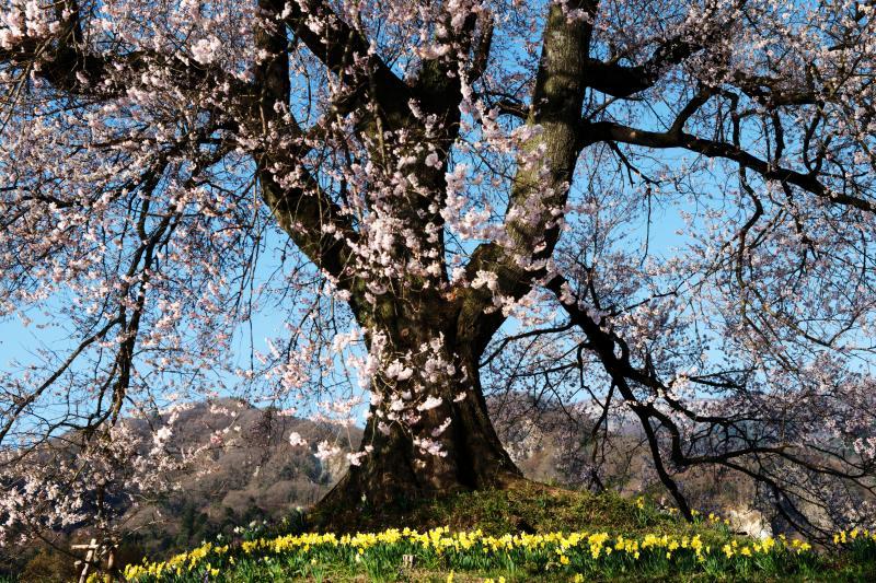 [ わに塚の桜とスイセン ]  賑やかな春のひとコマ