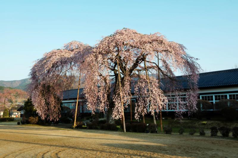 [ 青空と桜 ]