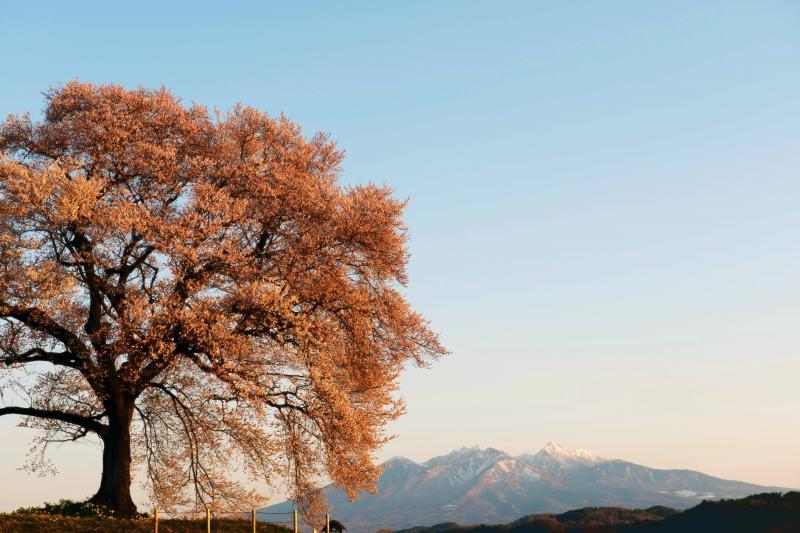 わに塚の桜 |