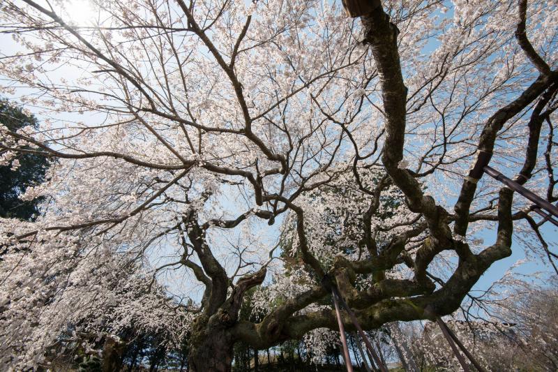 [ 桜の下で ]  横に伸びる枝が面白い