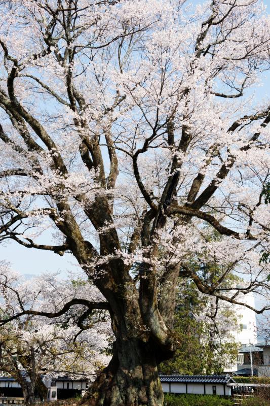 [ 長姫のエドヒガンの下で ]  とても背の高い桜です。
