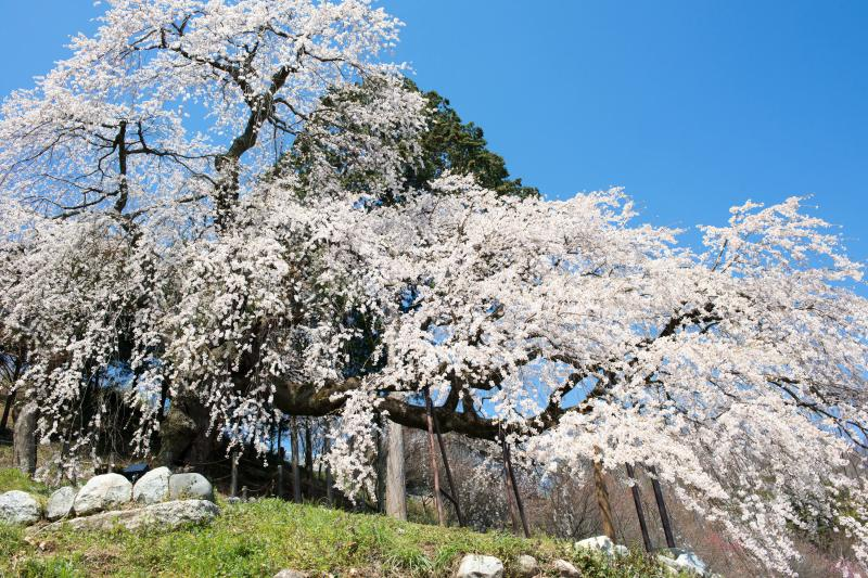 [ 一度見たら忘れない ]  横に長い桜です。