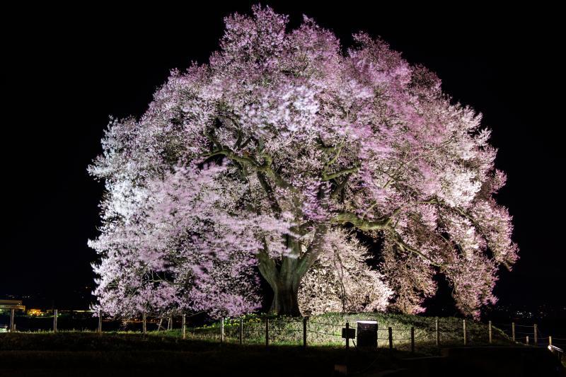 [ 妖艶 ]  風に揺れているわに塚の桜