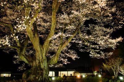 長姫のエドヒガン| ライトアップされ巨木が闇に浮かび上がります。