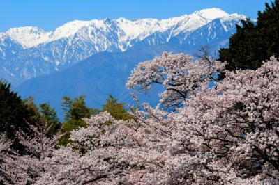 桜と中央アルプス| 山頂付近はまだ白いです。