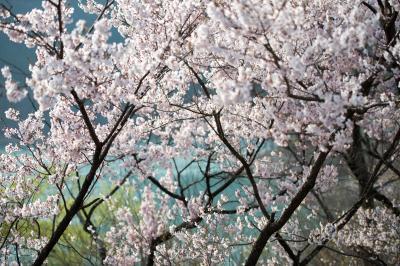 ブルーの湖面と桜| 爽やかな桜の風景